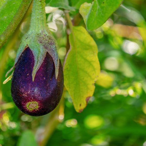 fruttasana-melanzane